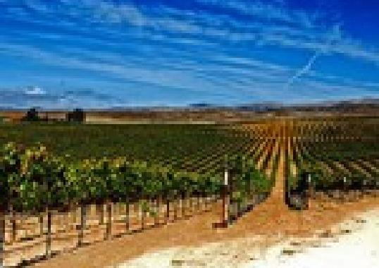 Grape vines of Gavilan Vineyard